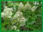 Bazga cvijet 375 ml