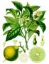 Bergamont eterično ulje 5 ml