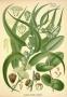 Eukaliptus eterično ulje 5 ml