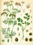 Korijander eterično ulje sjemenki 5 ml