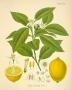 Limun eterično ulje 5 ml